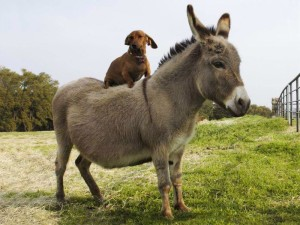 donkey-and-dog
